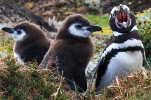 Pinguinera-Seno-Otway.-El-Ciudadano-300x199